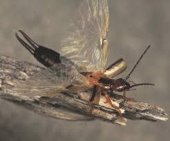 16 best earwigs images on pinterest earwigs earwig control and