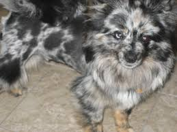 affenpinscher and chihuahua pomeranian merles for sale nw arkansas