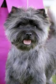 brindle cairn haircut die 33 besten bilder zu pooches auf pinterest adoption the rock