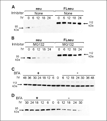 Flag Tag Dna Sequence Antibody And Cd8 T Cell Responses Against Her2 Neu Required For