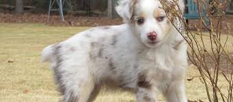 buy a australian shepherd miniature australian shepherd puppies for sale in ga
