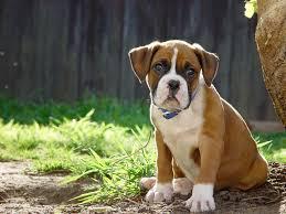 bulldog y boxer boxer puppy cute brown boxer puppy eight weeks old puppy u2026 flickr