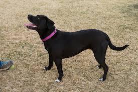 Seeking Pitbull Ladylike Pup Seeking New Home Recordcourier