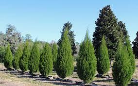 southern cedar tree huntsman tree supplier