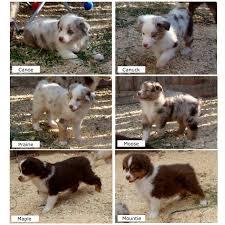 mini australian shepherd 7 weeks jewel u0026 havoc puppies 7 weeks old rival australian shepherds