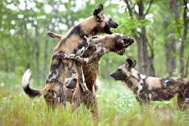 safari ltd african wild dog african wild dogs by karine aigner discover wildlife