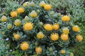australian native climbing plants holidays david u0027s garden diary