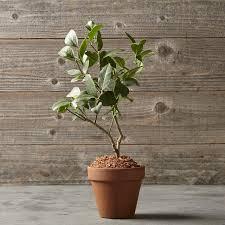 lemon tree in terra cotta pot williams sonoma