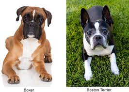 pug x boxer dog meet the miniature boxer a mix breed of boxer and boston terrier