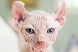 sphynx sweaters sphynx cats 5 things to about living with hairless cats