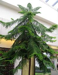norfolk island pine the other living christmas tree news
