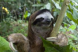 4 toed sloth thinking about owning a pet sloth here is everything you need to