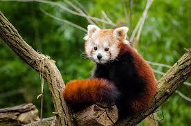 panda free pictures pixabay