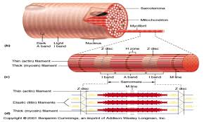 skeletal muscle structure function and plasticity articles