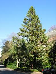 4 china fir