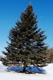 hd pine tree wallpapers free 691679
