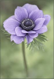 anemones flowers best 25 anemone flower ideas on anemones felt