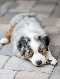 7 month old australian shepherd puppy facts about australian shepherds pethelpful