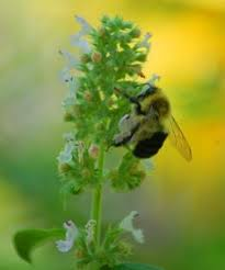 Catnip Flower - catnip flowers are quite small caringforcat see more at