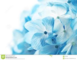 light blue flowers extraordinary light blue flower on hydrangea flowers background on