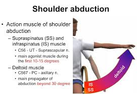 Innervation Of Supraspinatus Shoulder Abduction Reconstruction In Acute Brachial Plexus Injury