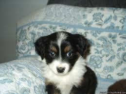 australian shepherd for sale california mini australian shepherd puppies price 250 for sale in windsor