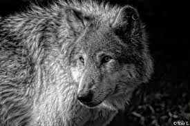 black and white wolf by yair leibovich on deviantart