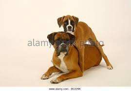 3 month boxer dog two boxer dogs standing stock photos u0026 two boxer dogs standing