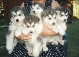 House Dogs by Alaskan Malamute U2013 Doginfo411 Com