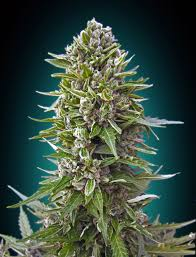 northern lights yield indoor auto northern lights 00 seeds