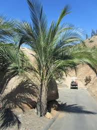 Palm Trees Fruit - my new alternatives for a tropical coconut palm tree