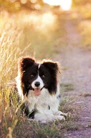 t jag s australian shepherds 17 best images about dogs on pinterest beautiful dogs border