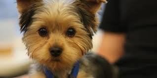pictures of puppy haircuts for yorkie dogs making yorkie hair cuts a simple diy method