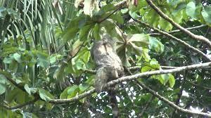 4 toed sloth costa rica 4 toed sloth mp4