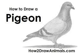 draw pigeon