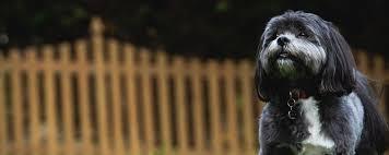 affenpinscher for adoption shih tzu and friends u2013 rescue of wisconsin