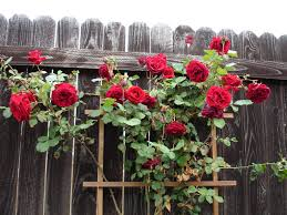 time to prune ramblers and climbing roses jersey plants direct blog