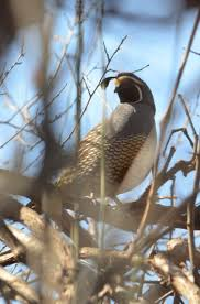 133 best california quail images on pinterest quails animals