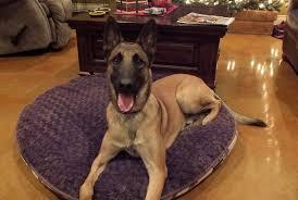 training a belgian sheepdog san antonio dog training belgian malinois is a handful to own but