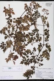 native south florida plants nekemias arborea species page isb atlas of florida plants