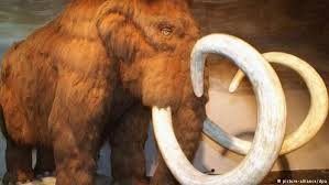 controversial scientist plans clone mammoth science dw