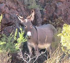 Arizona wild animals images Wild burros of the mojave desert JPG