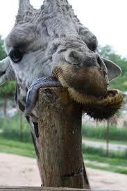 Drunk Giraffe Meme - my client after leg day mvp fitness meets drunk giraffe
