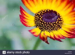 Flag Flower Chrysanthemum German Flag Flower Stock Photo Royalty Free Image