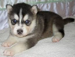affenpinscher lab mix 20 best images about just cute on pinterest lab puppies