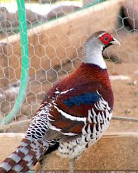 pheasants for sale local pheasant breeders with elliot s