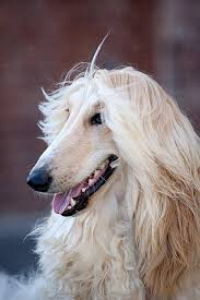 afghan hound blonde afghan hound loved and pinned by noah u0027s ark mobile vet service