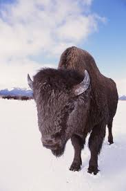 Bison Connect Department Of Interior Wood Bison To Be Returned To Their Ancient Range In Alaska