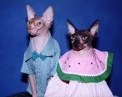 sphynx sweaters sphynx cats in sweaters