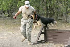 belgian shepherd special forces 10 things you may not know about military dogs barkpost